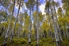 Fallen (hokie311) Tags: aspen aspentrees colorado gunnison fall autumn leaves wide wideangle landscape landscapes tree trees