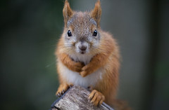 Little Squirrel (jussitoivanen) Tags: squirrel wildlife animal nature forest