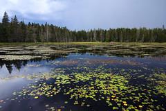 Ames Pond (Emily Miller Kauai) Tags: stonington maine deerisle amespond lilypond lilypads