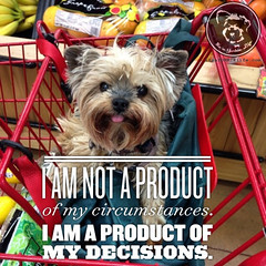 I decide to be owned by a Yorkie (itsayorkielife) Tags: yorkiememe yorkie yorkshireterrier quote