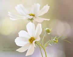 Cosmos (Jane Dibnah Botanical Art) Tags: cosmos floralart white flowers summer selectivefocus macrophotography flowerphotography nature beautyinnature