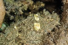 Scorpionfish hiding on a coral (Arno Enzerink) Tags: loistosiipisimppu aquatic diving dwarf fin fish life lionfish marine marinelife mozambique ocean parascorpaenamossambica scorpion scorpionfish scuba sea stings underwater water