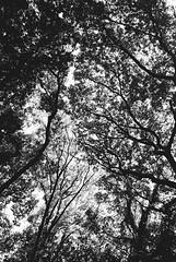 Yoyogi Park, Tokyo (fabiolug) Tags: trees tree branches nature sky yoyogipark yoyogi park tokyo japan japanese asia leicamp leica mp rangefinder film filmphotography believeinfilm blackandwhite blackwhite bw kodaktrix400 trix400 kodak trix kodaktrix leicaelmarit28mmf28asph elmarit28mmf28asph elmarit28mm leicaelmarit28mm 28mm elmarit leicaelmarit wide wideangle