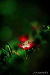 Red Planet (AmpamukA) Tags: travel red flower green animal butterfly insect thailand close place sharp thai planet chiangmai ang find kang doi