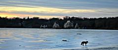 Fantastic Mr. Fox of Harriet (jennifer.falls) Tags: sunset red lake snow ice nature minnesota landscape wildlife lakes landmarks minneapolis fox lakeharriet dailynaturetnc12
