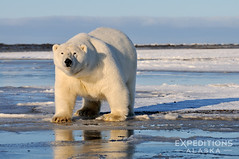 Polar bear photo, Ursus maritimus photos, Alaska. (Skolai-Images) Tags: animals alaska big wildlife bears arctic massive huge males polarbears ursusmaritimus horizontals carldonohue skolaiimages