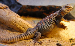 Ocellated Uromastyx (orlando c) Tags: lizards ocellated uromastyx