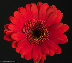 Remember (David S Wilson) Tags: flowers red england flower gerbera ely fens 2012 lightroom remembrancesunday flowersplants wearyourpoppywithpride davidswilson panasonicdmcg3 adobelightroom4 mzuiko1250mmlens