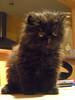 A new challenger is coming ! (AGUILA81) Tags: cat persian kitten chat gato gatito chaton persa persan