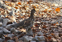 Rustling (When Crow laughed) Tags: colours sound markings ruffedgrouse startle