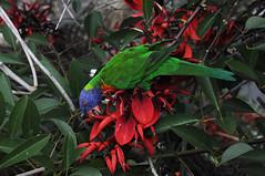 Paraquet (jelliscorpio) Tags: sydney parakeet australianwildlife