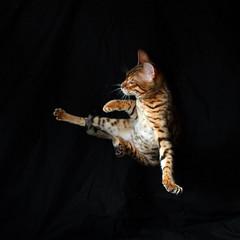 Ninja (FurLined) Tags: jump kitten loki leap bengal 17weeks zawadi