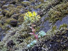 Broadleaf Stonecrop (maritimeorca) Tags: plant stonecrop sedumspathulifolium broadleafstonecrop