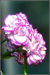 Carnation (RobW_) Tags: november flower greece tuesday carnation zakynthos 2012 nov2012 13nov2012