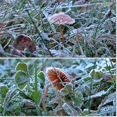 Minis....(ca.15mm gro) (peterphot) Tags: autumn nikon frost herbst pilze makros