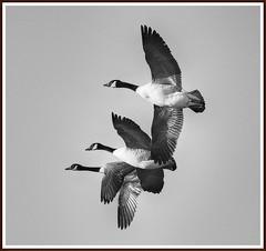 Grace (stu.bloggs..Dont do Sundays) Tags: november autumn light blackandwhite bw weather birds canon flying geese inflight cool sunny goose teesside canadageese sickofgroups saltholmemarsh