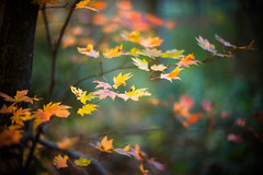 Autumn Rondeau (moaan) Tags: life leica autumn color digital forest 50mm glow dof bokeh f10 momiji utata aomori glowing noctilux tinted 2012  m9 towada oirase tinged  deepintheforest colorsofautumn  autumnaltints inlife leicanoctilux50mmf10 leicam9