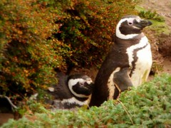 Magellanic penguin couple (Germn Vogel) Tags: chile bird latinamerica southamerica nature fauna penguin couple seabird magellan magallanes otway magellanic senootway spheniscusmagellanicus