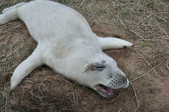 Cry Baby (Tim Melling) Tags: grey donna lincolnshire seal nook humber halichoerusgrypus timmelling