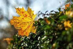Autumn Leaf (again)  325-366 #3 (Samyra Serin) Tags: sky paris france 50mm europe pentax gimp potd workplace drago 2012 year3 75019 aphotoaday day325 project365 fattal twtme qtpfsgui samyras day1055 pentaxasmc50mmf17 k200d mantiuk06 shuttercal reinhard05 luminancehdr mantiuk08 samyraserin samyra008 noscreenchallenge