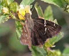 CU12_1406a (jerryoldenettel) Tags: butterfly insect cuba skipper 2012 hesperiidae pyrginae cabarespotrillo potrilloskipper cabares