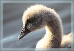 22nov12: jonge zwarte zwaan. (guus timpers) Tags: zwarte jonge zwaan almelo rogmanspark