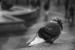 Pigeon among the cats (New Street Circus) Tags: street people urban cloud white black london rain weather square photography grey pigeon wildlife feather streetphotography trafalgar tourist crowds newstreetcircus