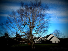 Birch Tree (Ruff Edge Design) Tags: trees picasa lomoish