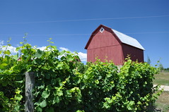 Grape Farm (cmu chem prof) Tags: vineyard michigan grapes redbarn circularpolarizer oldmissionpeninsula grandtraversecounty michiganstatehighway37