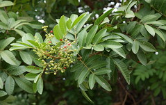 Brazilian Pepper Tree (igomak) Tags: tree weeds brisbane redberries whiteflowers anacardiaceae christmasberry schinusterebinthifolius brazilianpeppertree stluciacampus broadleavedpeppertree