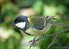CARBONERO COMÚN  (Parus major) (Vicente Cubas) Tags: thewonderfulworldofbirds freedomtosoarlevel1birdphotosonly