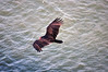 Big hungry bird.... (MWBee) Tags: bird nikon fortlauderdale buzzard hollandamericaline porteverglades nieuwamsterdam d5000 mwbee freedomtosoarlevel1birdphotosonly
