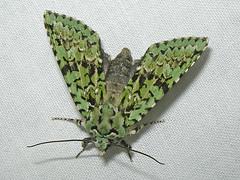 Merveille du Jour, Blickling (Norfolk), 20-Oct-12 (Dave Appleton) Tags: insect norfolk moth du jour moths blickling merveille merveilledujour