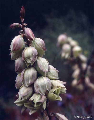 Photo - Yucca Flowers