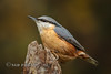 Nuthatch (Nigel Dell) Tags: autumn birds flickr seasons wildlife places hampshire nuthatch fsg ngdphotos