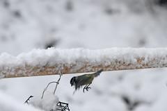 Aanvallen  /  Attack (Renk Knol) Tags: snow sneeuw greattit koolmees