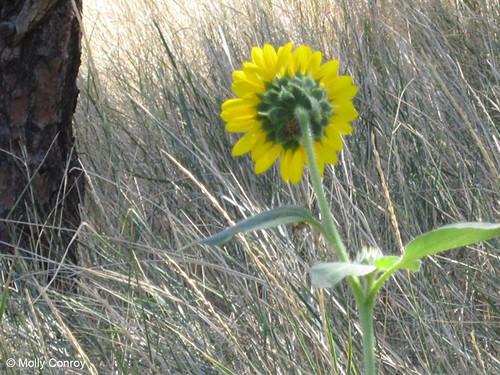 Photo - Sunflower