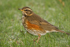Redwing (Alistair Prentice.) Tags: uk autumn ireland winter irish photography pentax 150 500 prentice northern thrush redwing kx scandanavia