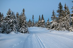 Sjusjen (Algot Kristoffer) Tags: winter snow ski tree pine forest landscape dusk skitracks sjusjen