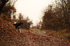 Dog marks territory (wittie ford) Tags: street dog holiday leaves freshair mix december walk pitbull bulgaria documentaries docs documents goldenleaf halm documental earlywinter rodopi rhodopes cartroad documentaryphotography lateautumn dokumente biotrip haulm rhodopemountains dokus mildclimate rodopaplanina gornoslav