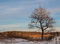 Stark (- David Olsson -) Tags: winter snow cold tree nature landscape nikon december sweden karlstad stark stripped lonelytree 2012 eveninglight dx vrmland 1635 drygrass eriksberg 1635mm lonesometree d5000 davidolsson 1635vr