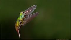 Rufous-tailed Hummingbird in Flight (Raymond J Barlow) Tags: red green art nature costarica hummingbird wildlife flight adventure avian birdinflight rufoustailed 200400vr nikond300 raymondbarlowtours