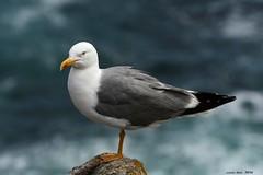 Gavi argentat - Gaviota patiamarilla (Enllasez - Enric LLa) Tags: gaviotas gavina pjaros aves aus ocells bird 2016 islascies galicia