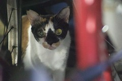 DSC05722 (C*A(t)) Tags: cat straycat taiwan taipei taipets sony a7s