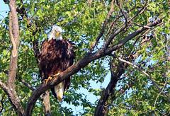 Vito the bald eagle - Staten Island, New York (superpugger) Tags: statenislandbaldeagles bald eagles baldeagles newyorkcitywildlife lawrencepugliares lpugliares