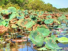 Corroboree Billabong (Digidoc2 - OFF for a little while) Tags: corroboreebillabong billabong water trees waterlillies flower sky clouds reflections northernterritory australia
