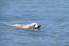 IMG_0452 doggie (john blopus) Tags: naxos   hellas greece  island cyclades  beach  sea   water  dog