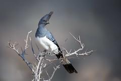 The Go Away Bird (Kitty Kono) Tags: goawaybird kenya africa kittyrileykono samburu