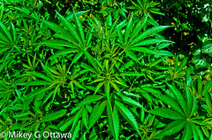 Legal Marijuana - Ottawa 08 13 (Mikey G Ottawa) Tags: mikeygottawa canada ontario ottawa garden city grow plant marijuana cannabis medicinal licensed personal pot weed grass marihuana green kush