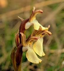 Anacamptis collina (3) (pflanzenflsterer) Tags: orchidaceae andalusien spanien 6petals afrika albanien algerien balkan europa frankreich geophyt griechenland knollenpflanze laubwerfend libyen macchie marokko mittelmeer nordafrika orchidoideae portugal sardinien staude tunesien trkei turkey vorderasien winterregen zygomorph orchiscollina